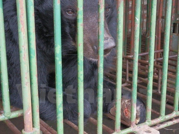 Captive bears being starved at farms in Quang Ninh