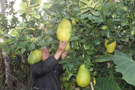 Giant lemon in da lat