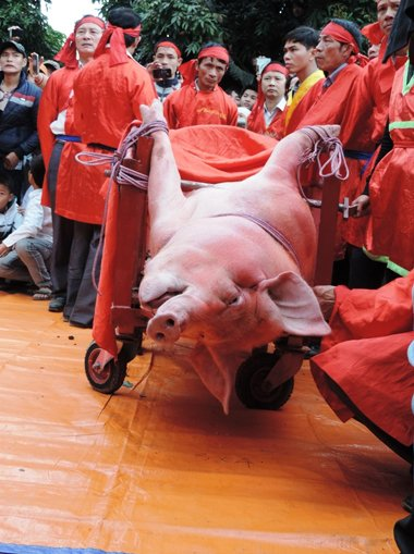 Pig-chopping festival is one of the most brutal: Animals Asia