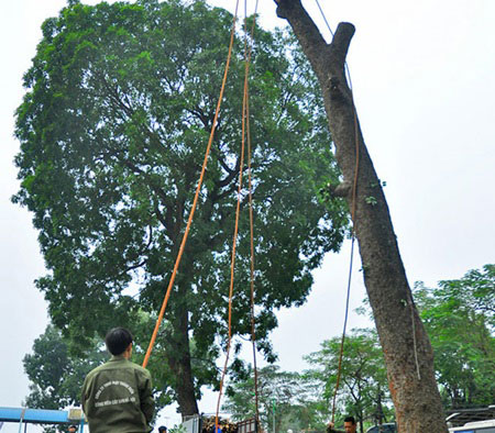 Public skeptical about plan to axe 6,700 trees in Ha Noi