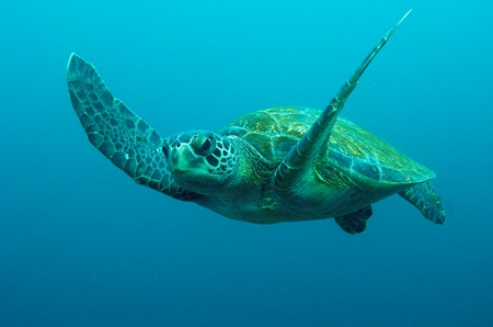 Rare green turtle rescued, released to ocean