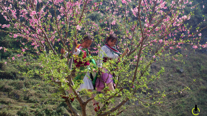 Image: Peach, plum flowers blossom in Ha Giang
