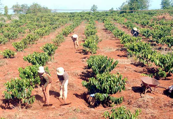Gov't approves loan plan to replant coffee