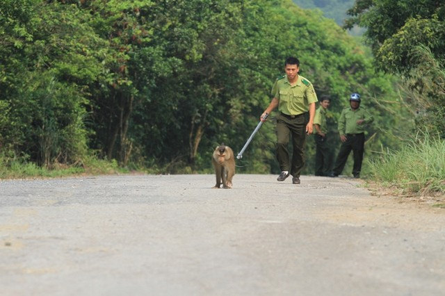 Da Nang authorities try to catch monkey that attacks tourists