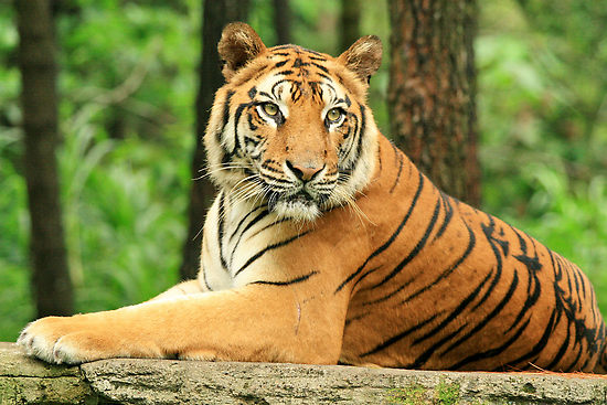 Global wild tiger population increases, but still a long way to go