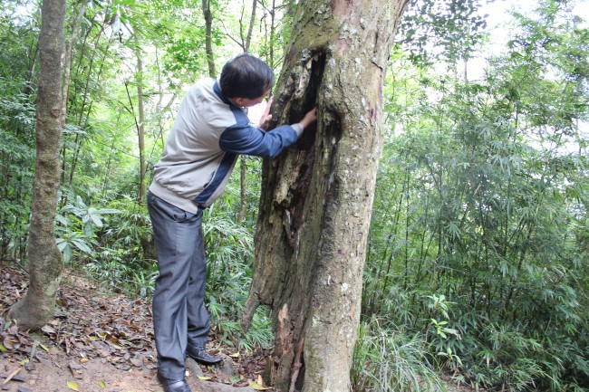 Ancient red pine trees in Yen Tu dying