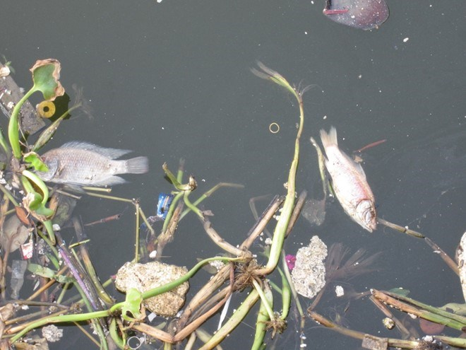 Dead fish cover 4-km long section of Saigon canal