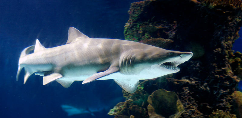 Shark Dads Lose Babies to Unborn Cannibal Siblings Environmental News ...