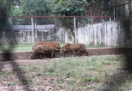 The largest tiger farm in Thanh Hoa