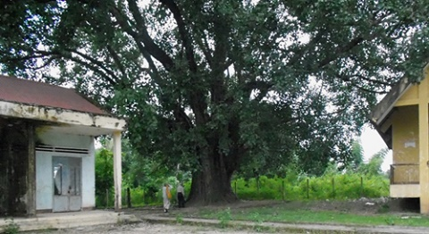 132 year-old Bodhi tree recognised as heritage tree