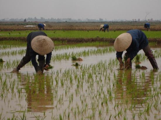 Drought-hit farmers urged to shift from rice to other crops