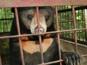 Stopping tourism activity of extracting bear gall in Ha Long