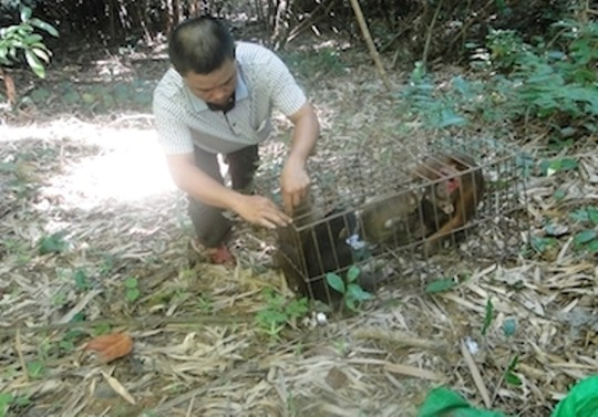 Releasing 3 endangered stump-tailed macaque individuals