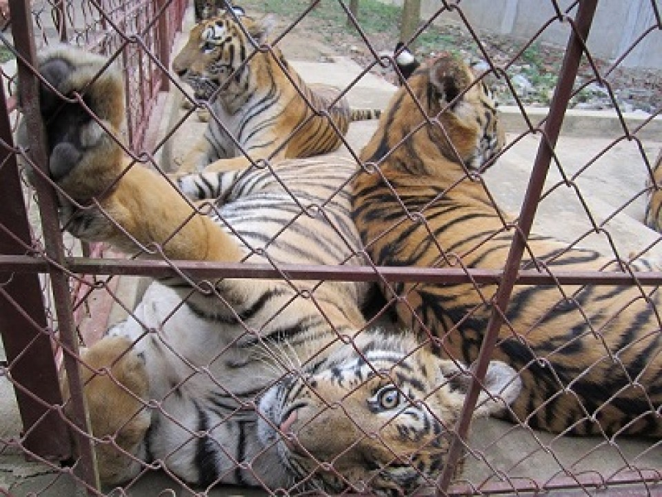 Surge in seizures of captive-bred tigers