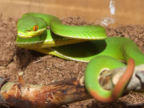 Viper bites up as forests disappear