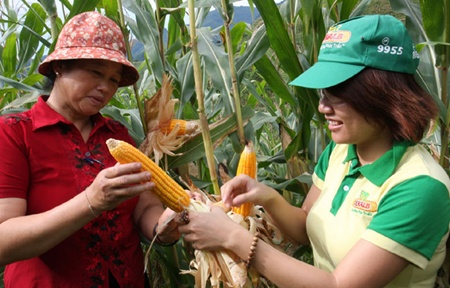 Vietnam issues certificates for two GM corn strains
