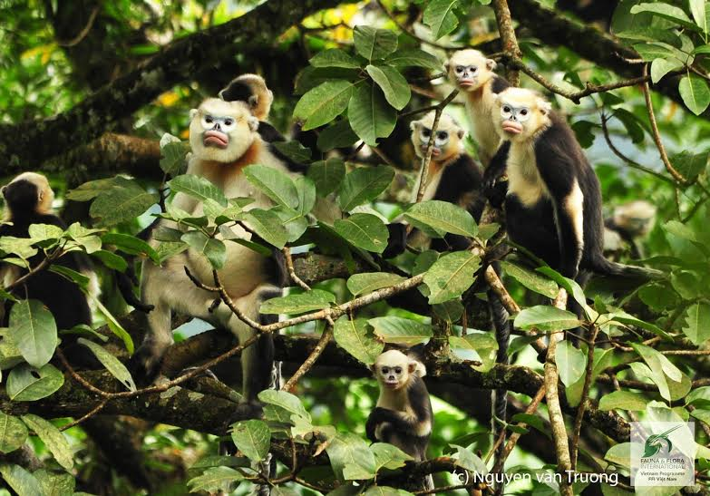 Vietnam's Primates are on the Edge of Extinction