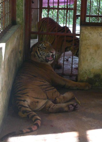 Pu Mat National Park sends two rare tigers to Hanoi