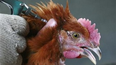 13 Hanoi students suspected to have H1N1 bird flu