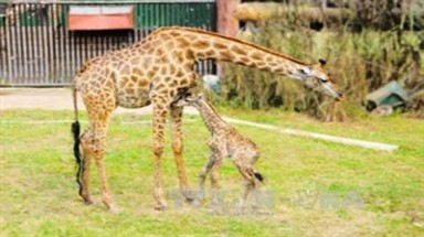 Captive South African giraffe gives birth in Vietnam