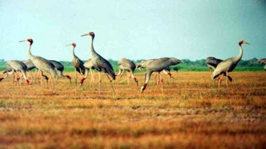 Rare bird at risk as farms encroach