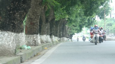 Hanoi to replace 6,700 trees along streets