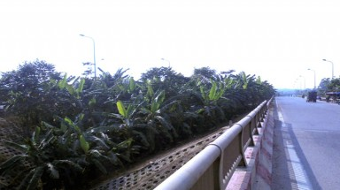 A kilometer-long vegetable garden in Hanoi