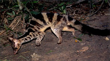Campaign to conserve Owston's palm civet launched in Vietnam