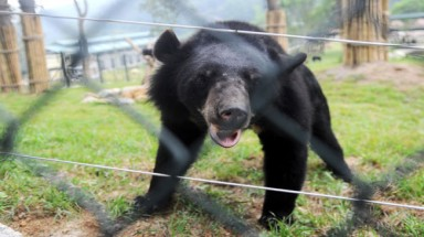 1,800 bears in captivity in Vietnam