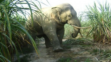 Dong Nai tries to curb elephant disturbances