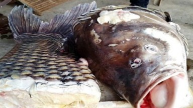 Critically endangered giant barb sold to Saigon restaurant