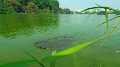 Latest pictures of Hoan Kiem Lake's legendary turtle