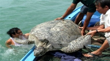 Sea turtles conserved at Con Dao National Park