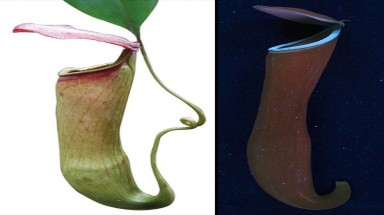 Carnivorous Plants Glow to Attract Prey
