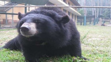Quang Ninh to crack down on illegal bear bile farms