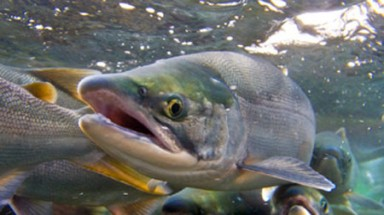 """Salmon have """"inherited magnetic map"""" for migration: study"""