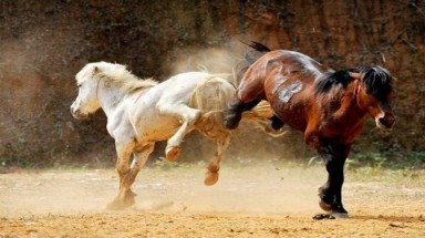 Horse fighting in Ha Giang