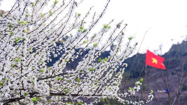 Moc Chau plum flowers welcome spring
