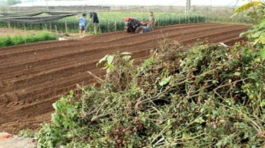 Tay Tuu flower growers forced to destroy crops