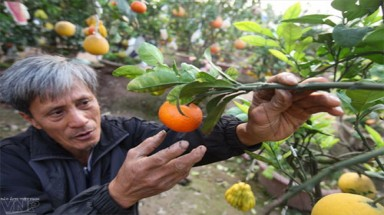 Hanoi farmer creates multi-fruit bearing tree