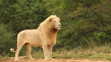 """Canned hunting"" of white lions is despicable – and it must stop"