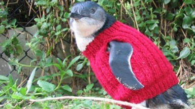 Wanted: knitters to create jumpers for little penguins