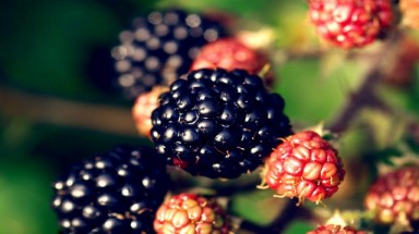Squeezing the health out of blackberries