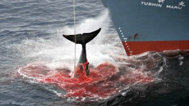 Japan's whaling future in balance as ICJ set to rule on hunting in Antarctic