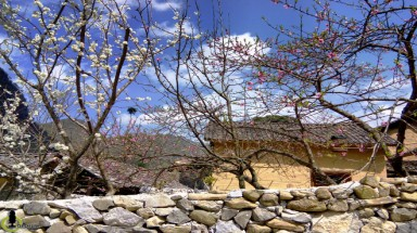Peach, plum flowers blossom in Ha Giang