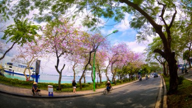 Hanoi's West Lake misted with Bauhinia flowers