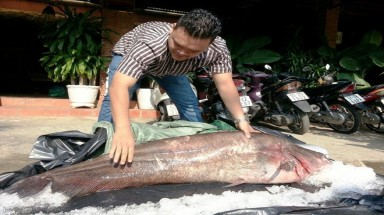 Fisherman catches giant endangered catfish, sells to restaurant