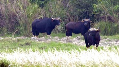 Scarce food forces gaurs to plunder