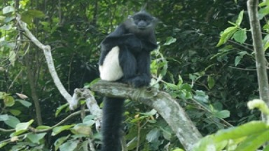 Rare langur returned to national park