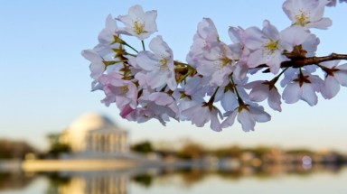Washington DC cherry blossoms reach peak bloom